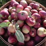 Heirloom apples from the orchard